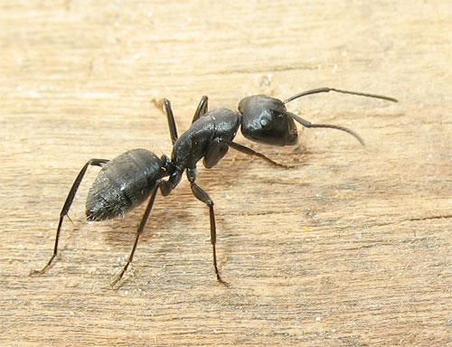 Disinfestazione formiche pescara disinfest control for Debellare formiche